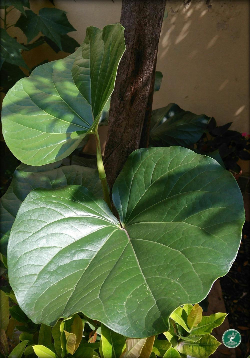 Pariparoba - Piper umbellatum.jpg