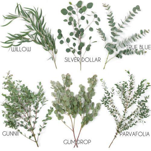 Identificação botanica de Eucalyptus